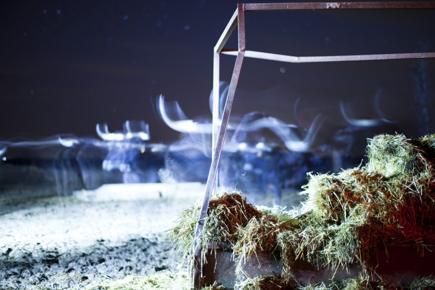 Bulls in the night photograph by Victor Hugo Martin